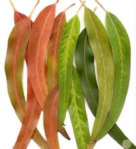Eucalyptus.jpg I