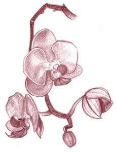 Orchid www.artgyrt.com I
