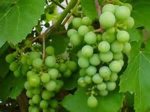 Green Grapes www.zingerbug.com I