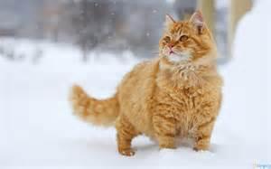 1 snowy cat www.bhmpics.com I