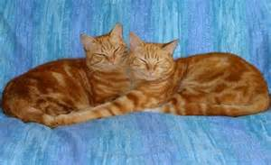 1 yellow tabby's www.pictures-or-cats.org.jpg I
