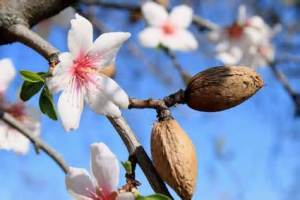 Almond Oil www.medicosmesi.it.jpg I