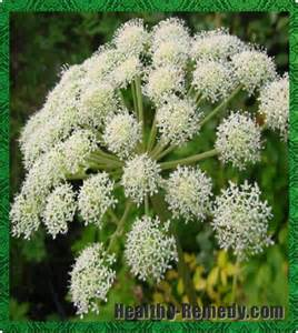 Angelica  www.healthy-remedy.com I
