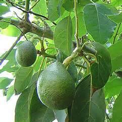 Avocado Oil  www.cremedevie.com I