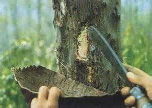 Benzoin Gum Tree www.goodchildglobal.co.uk