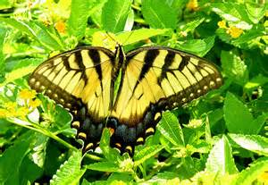 Butterfly Eastern Tiger Swallowtail www.flickr.com I