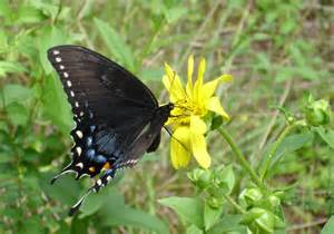 Butterfly Female www.nhptv.org