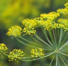 1 Fennel Plant