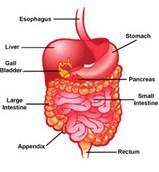 1 Digestive System