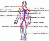 1 Circulatory System