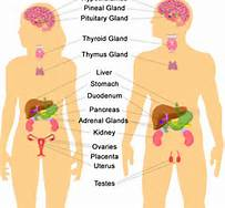 1 Endocrine System Male and Female
