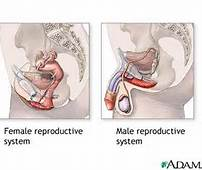 1 Female Male Reproductive System