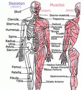 1 Muscular and Skeletal System