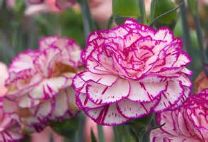 1 A Carnation Absolute Essential Oil