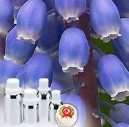 1 A Hyacinth