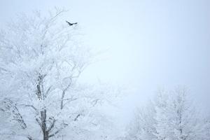Crow Snow