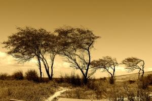 Weather Beaten Trees
