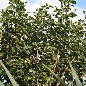 1 A Amyris Tree
