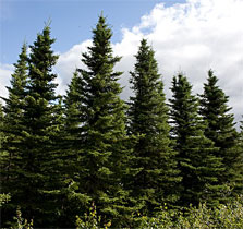 black-spruce-02