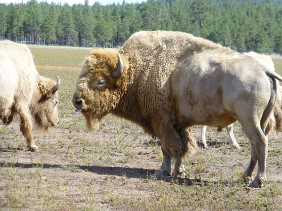 buffalo-1150445_640