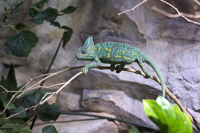 chameleon-1475584_640