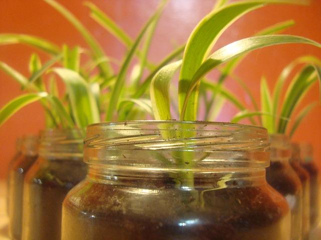 spider-plant-442204_640